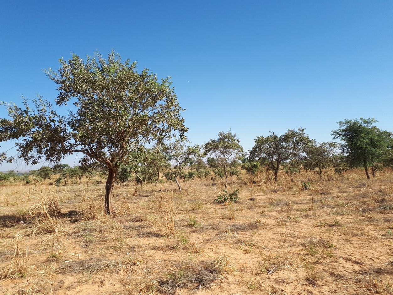 A farmer-managed natural regeneration pilot site after successful harvest in Niger