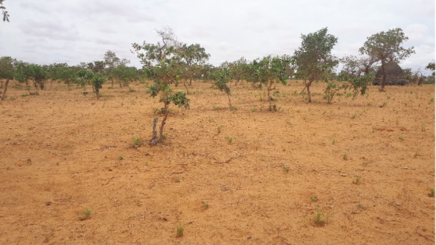 A farmer-managed natural regeration pilot site in Niger three to four years into regeneration