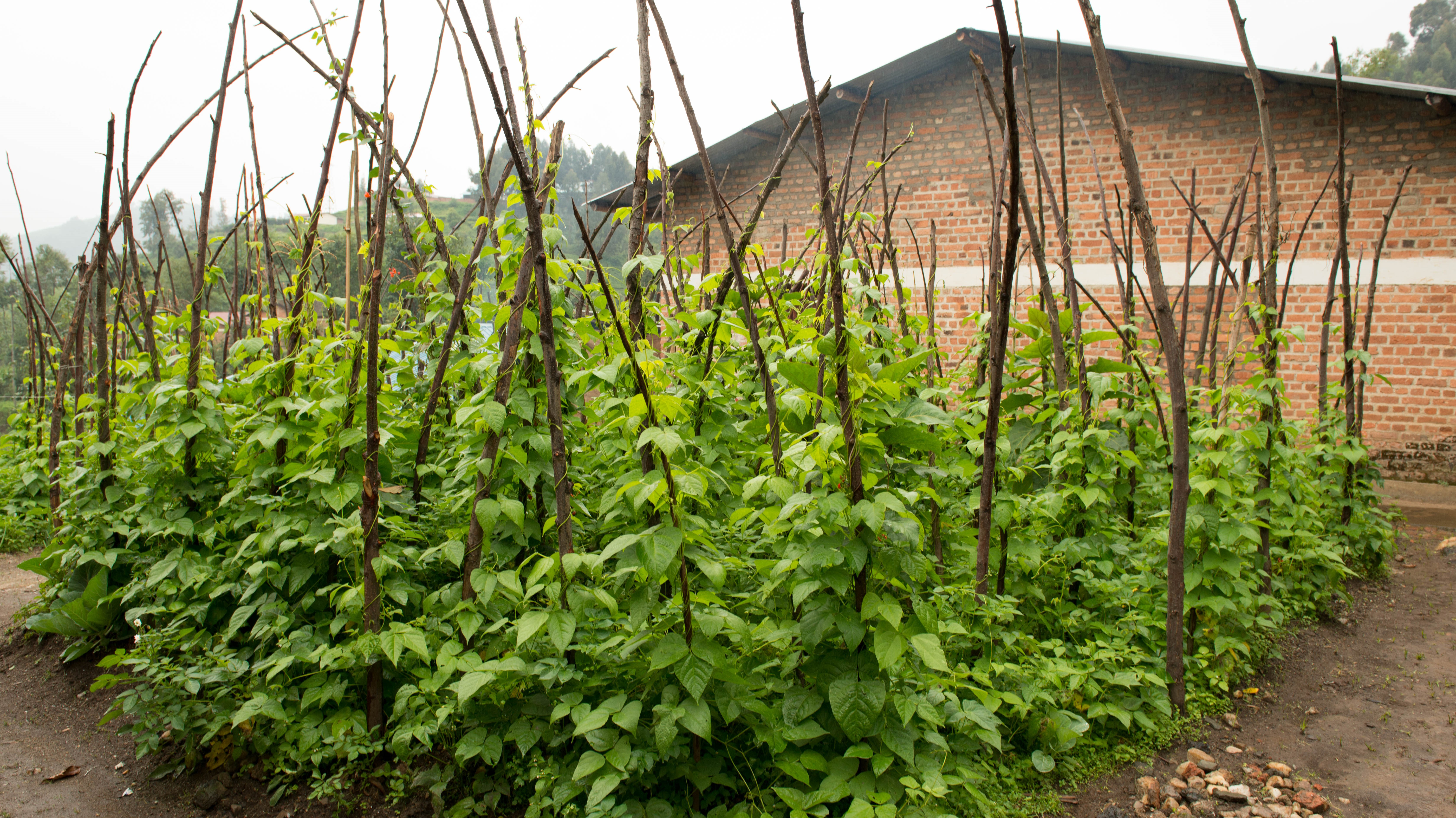 Climbing beans require strong stakes to hold additional weight as they grow and produce pods. Photo: World Agroforestry/Caroline Njoki