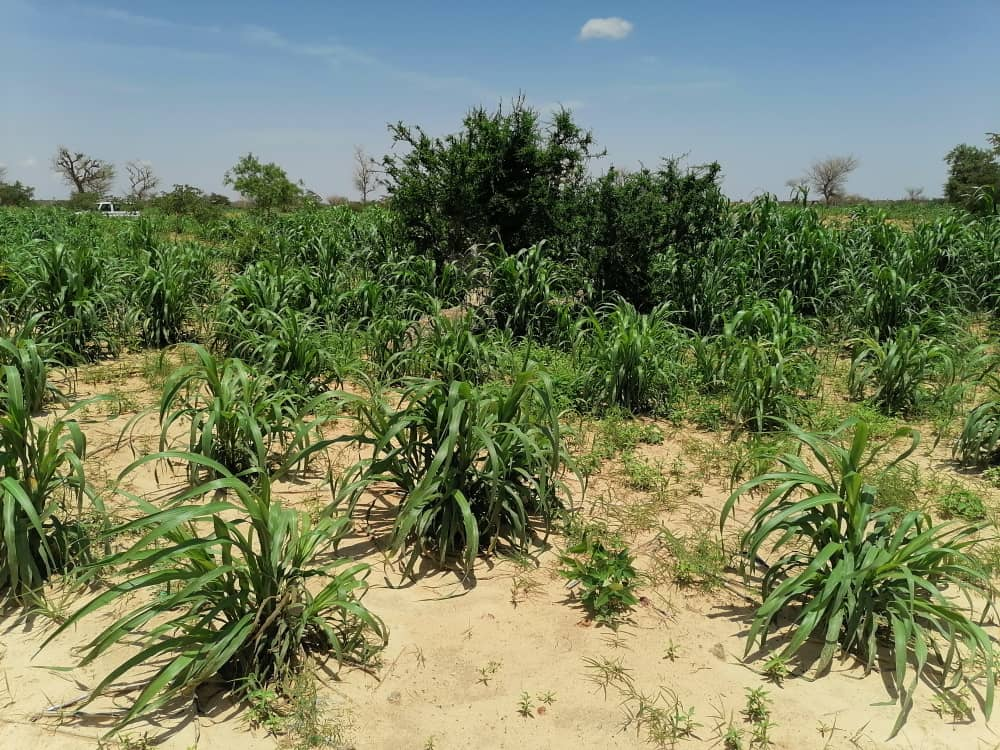 Farmer-managed natural regeneration can boost soil fertility and improve crop production