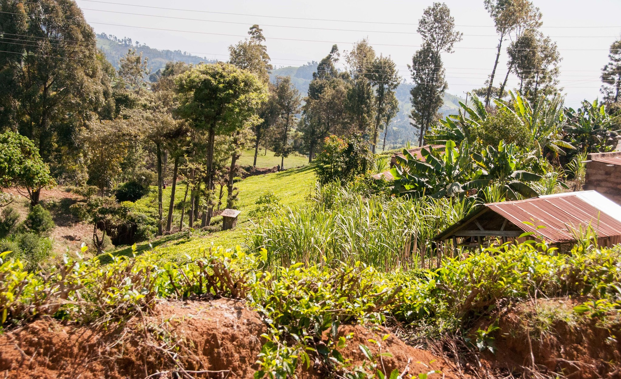 Trees on farms are a source of biomass. Photo: World Agroforestry/Ake Mamo
