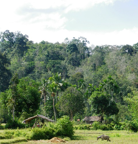 A healthy Indonesian watershed is 30% forest or 70% agroforest?
