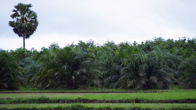 Oil palm can help to sequester more carbon