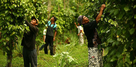Debating agroforestry's role in Indonesia
