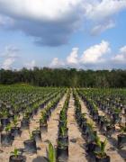 Pemerintah Indonesia berambisi untuk meningkatkan produksi tanaman bioenergi. Foto: World Agroforestry Centre/Robert Finlayson