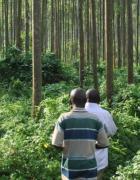 Monocultural eucalyptus plantations around Virunga National Park in DRC. (Photo: Emilie Smith Dumont)